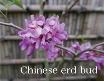 Chinese erd bud