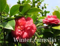 Winter camellia